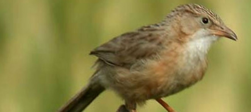 The Spiny Babbler-Wings of Nature
